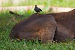Buffelfåglar steg av på baksidan av en antilop Arkivfoton