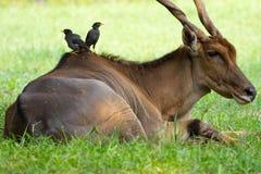 Buffelfåglar steg av på baksidan av en antilop Royaltyfria Bilder