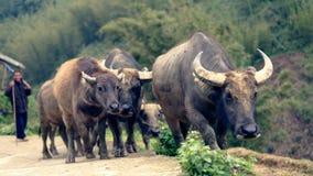 Buffelflock i den Sapa dalen Royaltyfri Fotografi