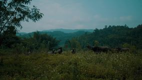 Buffelflock på flodstranden i härligt grönt Chiang Rai område lager videofilmer