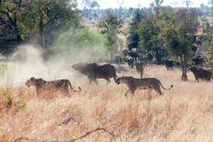 Buffelflock som bort jagar lejon Royaltyfria Bilder