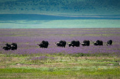 BuffelflyttningsNgorongoro krater, Tanzania arkivbilder