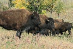 Buffelkörning, Custer, South Dakota arkivbilder