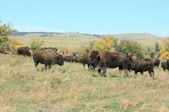 Buffelkörning, Custer, South Dakota royaltyfria foton
