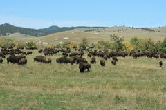 Buffelkörning, Custer, South Dakota royaltyfri fotografi