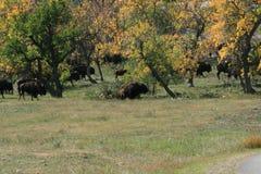 Buffelkörning, Custer, South Dakota royaltyfri foto