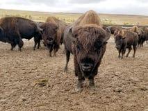Buffelkörning, Custer, South Dakota fotografering för bildbyråer
