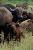 buffelkalv arkivfoton