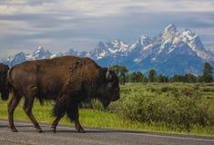 Buffelkorsning Arkivfoton