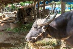 Buffellantgård på Suphanburi, Thailand Augusti 2017 Royaltyfri Fotografi