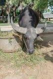 Buffellantgård på Suphanburi, Thailand Augusti 2017 arkivbild