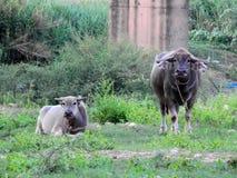Buffelmödrar med barn royaltyfri foto