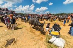Buffelmarknad i Rantepao arkivfoto
