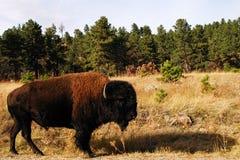 Buffeln arkivbilder