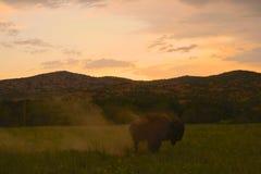 Buffeln dammar av av Arkivfoto