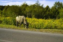 Buffeln längs vägen där är gräs Abchazien Oktober 2018 arkivbilder