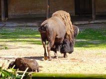 Buffeln med behandla som ett barn i Nuremberg i zoo i Tyskland arkivbilder