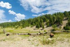 Buffeln på bevattna spela golfboll i hål royaltyfri foto