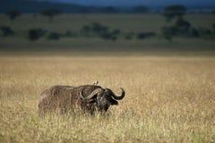 buffelnationalparkserengeti Arkivfoto
