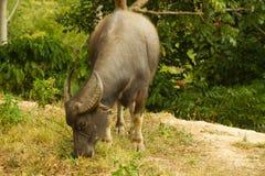 Buffelo bydła traken w tradycyjnym miejscowego stylu gospodarstwie rolnym na Flores, Indonezja Zdjęcie Stock
