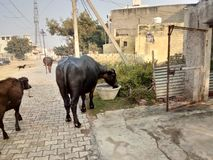 Buffelo drinkt water stock fotografie