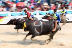 Buffelrace Arkivbild