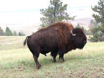 Buffels Stock Afbeelding