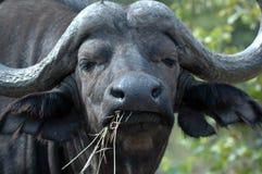Buffels. Royalty-vrije Stock Foto's