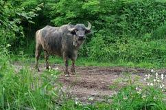 buffels Royalty-vrije Stock Foto's