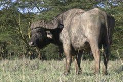 Buffels Royalty-vrije Stock Afbeeldingen