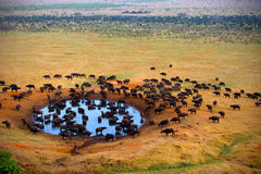 Buffels bij de bron Stock Afbeelding