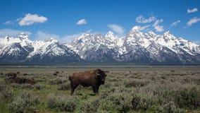 Buffels bij het Nationale Park van Grand Teton Stock Afbeeldingen