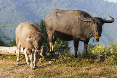 Buffels (Bubalus-bubalis) in Thailand Stock Foto's