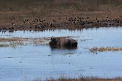 Buffels in Chobe-Rivier Stock Foto's