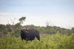 Buffels in de Afrikaanse savanne Royalty-vrije Stock Foto's