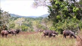 Buffels in de Shimba-Heuvels stock videobeelden