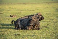 Buffels in de zon stock fotografie