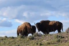 Buffels in de zonsondergang Stock Foto's