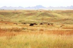 Buffels de Zuid- van Dakota het weiden Royalty-vrije Stock Afbeelding