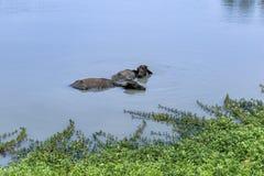 Buffels die in een mooie vijver zwemmen om neer te koelen stock fotografie