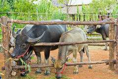 Buffels die gras eten. Stock Fotografie