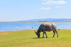 Buffels die gras eten Royalty-vrije Stock Foto's