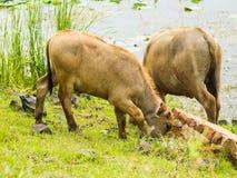 Buffels die gras eten dichtbij watervijver stock foto