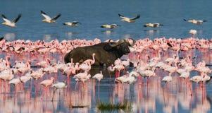 Buffels die in het water op de achtergrond van grote troepen van flamingo's liggen kenia afrika Nakuru National Park Meer Bogoria stock afbeelding