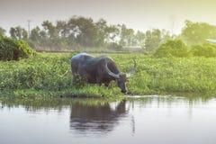 Buffels die langs het moeras weiden Royalty-vrije Stock Afbeeldingen