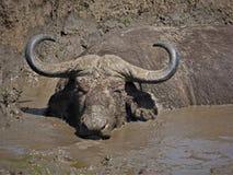 Buffels die in mudbath in de zon baden Stock Afbeeldingen