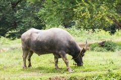 Buffels die op een gebied weiden Royalty-vrije Stock Afbeelding