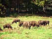 Buffels die op gebied weiden Royalty-vrije Stock Afbeeldingen