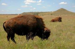 Buffels die op Prairie weiden Stock Foto