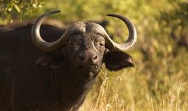Buffels die op wat gras weiden dat de foto bekijkt royalty-vrije stock afbeelding